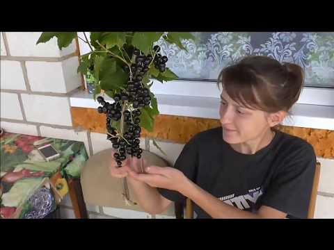 Сорт черной смородины селеченская 2: описание, отзывы