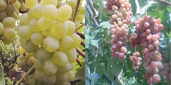 Виноград белое чудо: особенности сорта - ягоды | описание, советы, отзывы, фото и видео