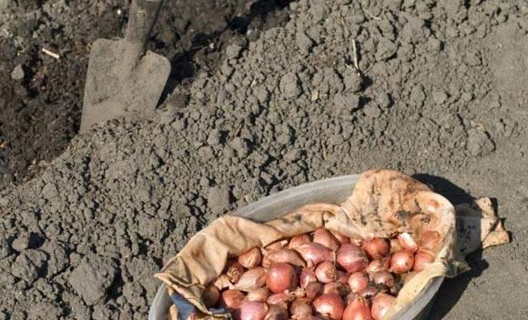 Можно ли под зиму сажать лук севок. точные даты, когда сажать лук севок под зиму | красивый дом и сад