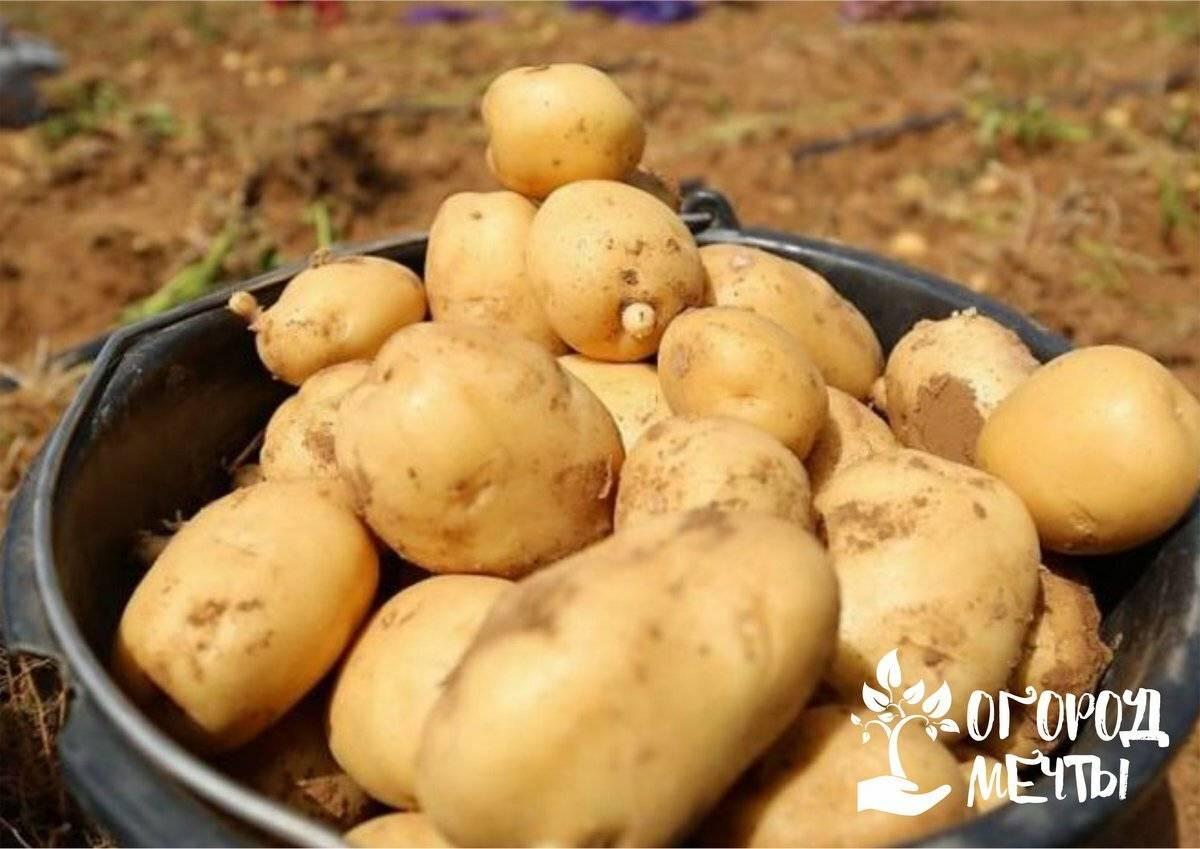 Как долго ждать всходов картофеля после посадки и от чего зависят сроки?