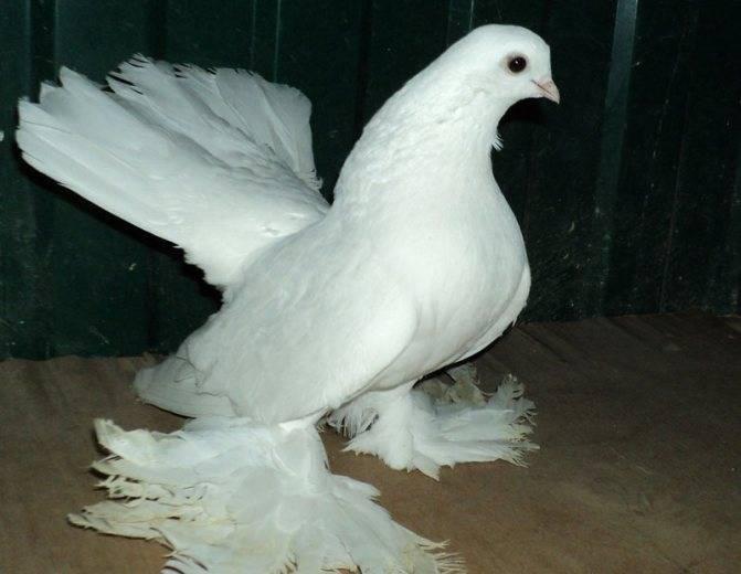 Английские голуби типплеры описание породы уход фото - дневник садовода agro7group.ru