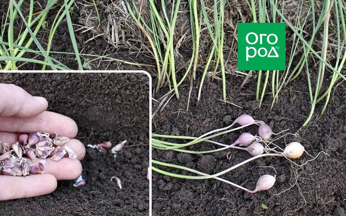 Чеснок из бульбочек: выращивание в открытом грунте (практика) чеснок из бульбочек: выращивание в открытом грунте (практика)