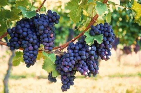 Русский фиолетовый — виноград