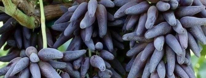 Черный виноград: 28 лучших сортов с фото, описанием, названием