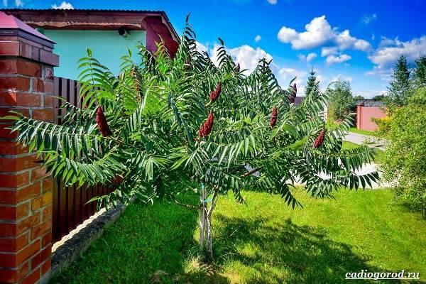 Огуречное дерево, или билимби   мир животных и растений