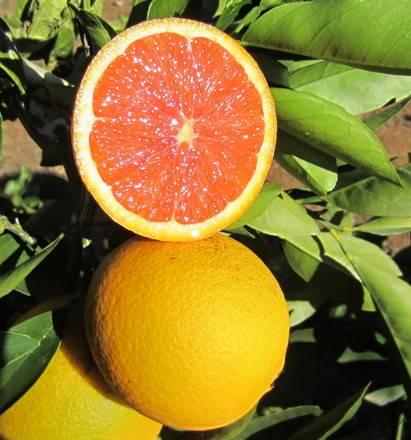Апельсин вашингтон навел в домашних условиях: описание сорта, фото