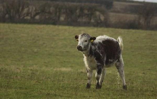 Топ-6 самых опасных болезней коров