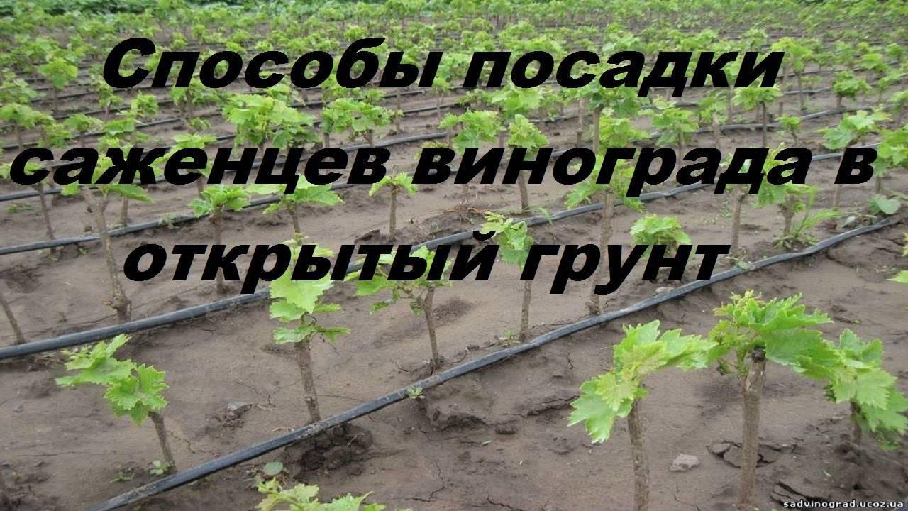 Выращивание винограда: посадка черенков винограда весной в открытый грунт