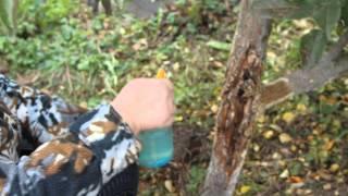 Почему трескаются плоды на груше и методы борьбы за урожай