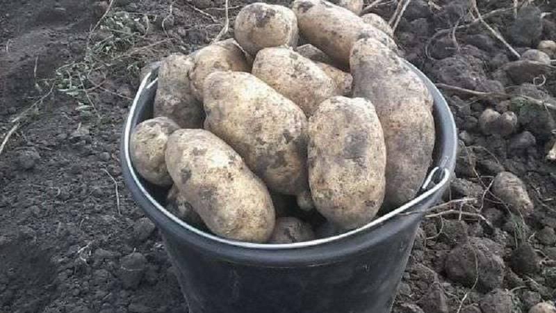 Урожайность картофеля с 1 га: как вырастить хороший урожай, как повысить урожай