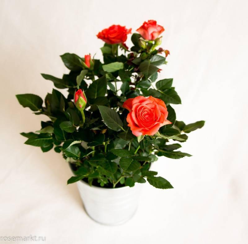 Как ухаживать за розой в горшке в домашних условиях зимой, чтобы вырастить здоровый куст: секреты ухода за комнатным цветком после покупки и по прошествии времени selo.guru — интернет портал о сельском хозяйстве