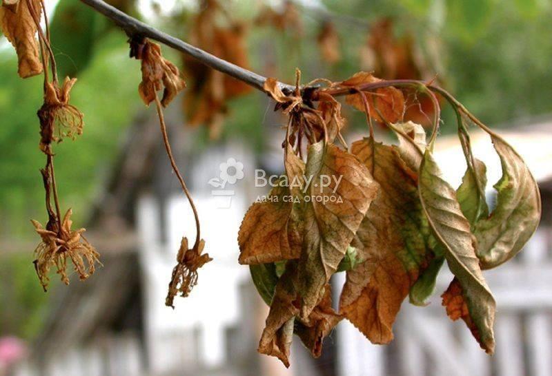 Болезни вишни: их описание с фотографиями