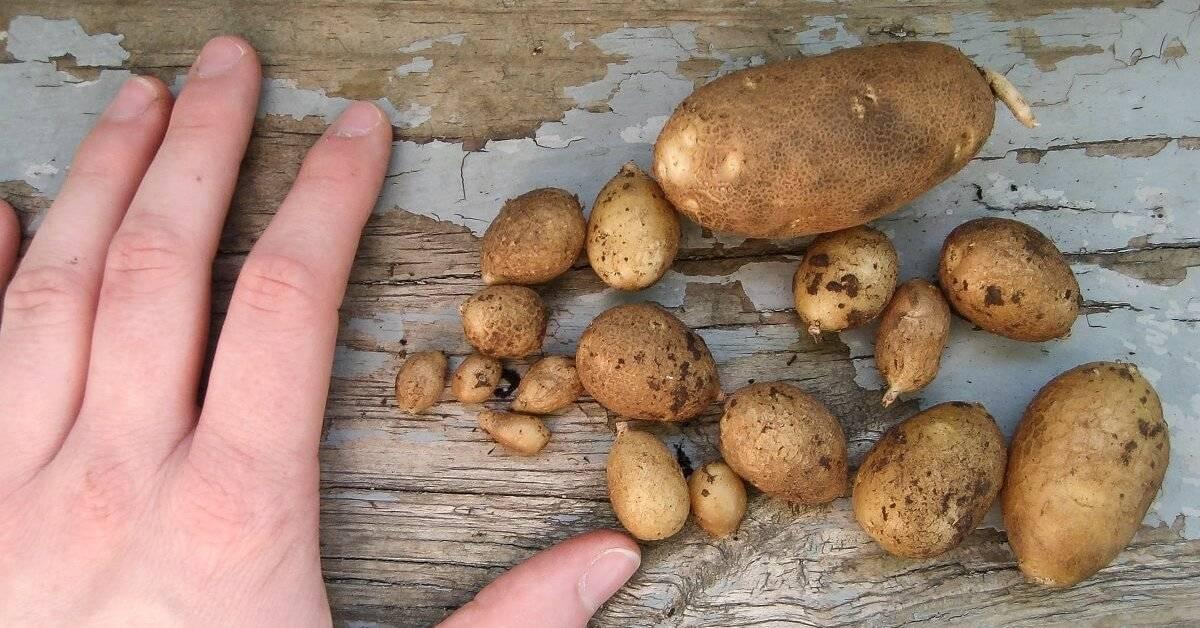 Почему картофель не цветет