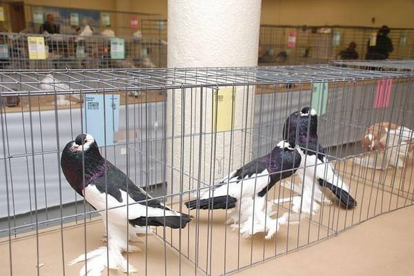 Применение ласоты для голубей