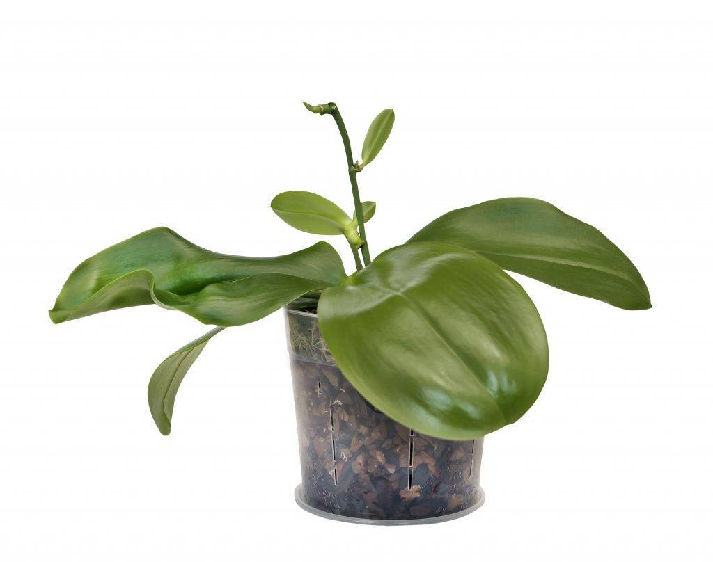 Что такое цветонос у орхидеи, как отличить его от корня и детки? нюансы ухода в период образования бутонов