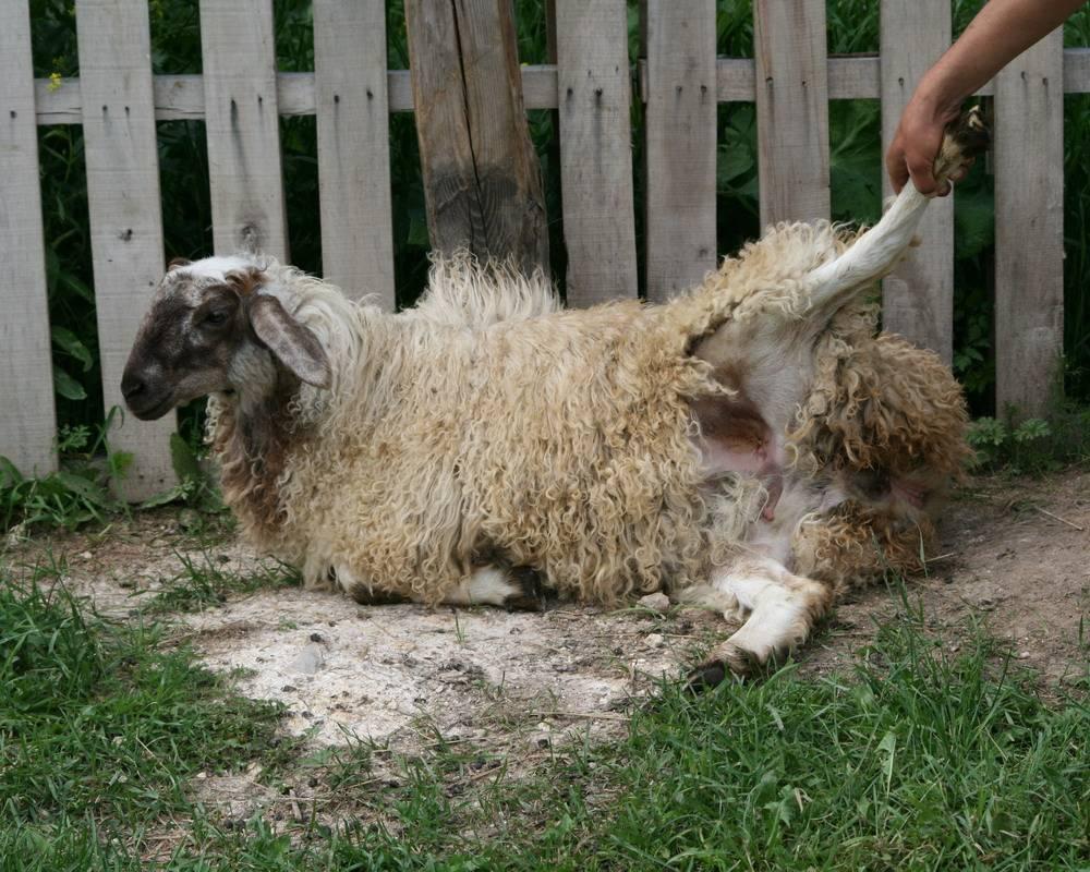 Курдючные овцы: описание породы, польза мяса, способ разведения