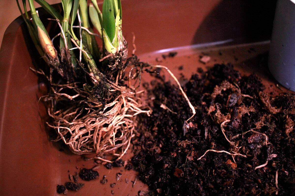Типы роста орхидеи
