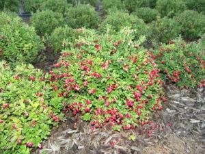 Выращивание брусники коралл в саду на приусадебном и дачном участке