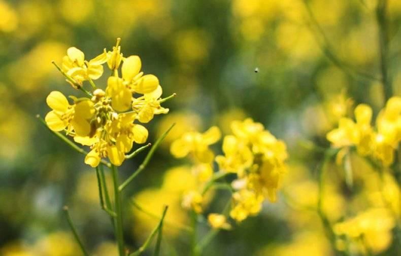 Горчица как удобрение-сидерат: как и когда сеять и убирать, чем полезна?