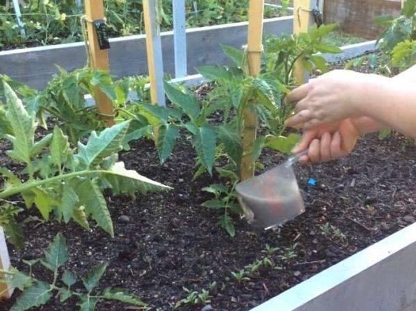 Томат таня f1 — описание сорта, отзывы, урожайность