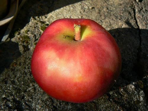 Яблоня июльское черненко: описание, инструкция по выращиванию