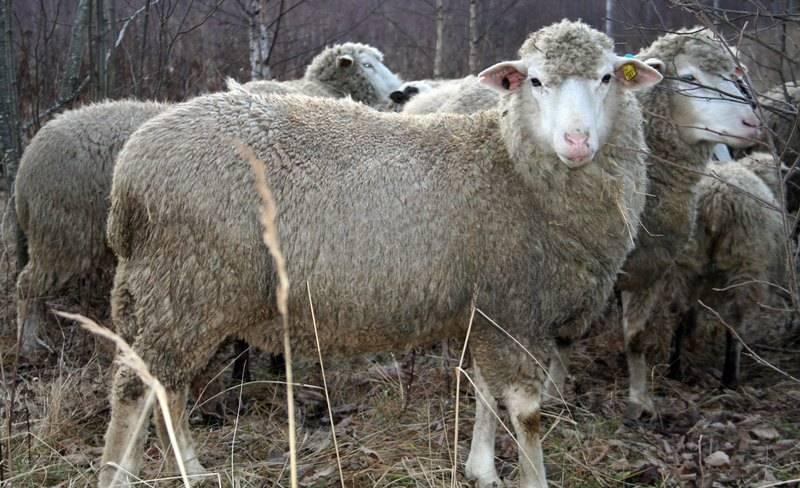 Бараны и овцы романовской породы — описание, характеристика, условия содержания.   cельхозпортал