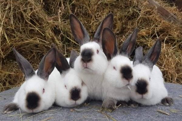 Калифорнийский кролик: описание породы и разведение