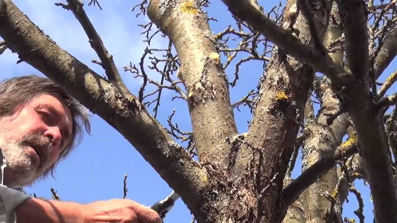 Обрезка яблонь весной — видео для начинающих