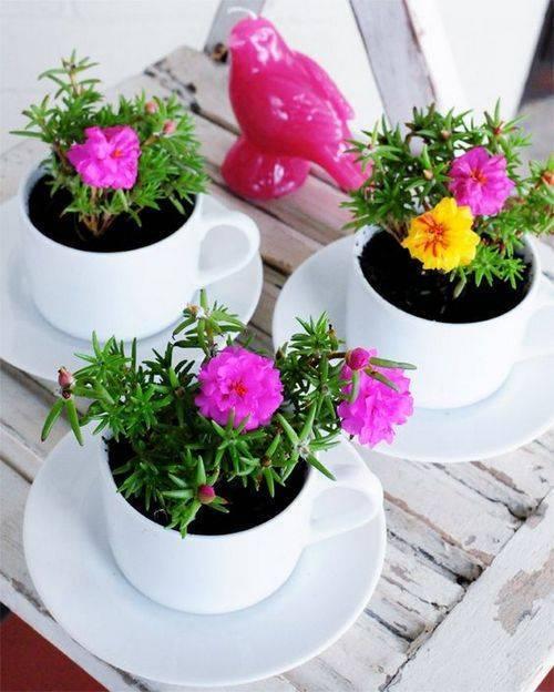 Портулак махровый крупноцветковый: выращивание из семян, фото, когда садить