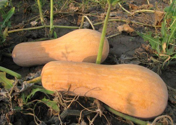 Тыква витаминная: описание, история сорта. выращивание