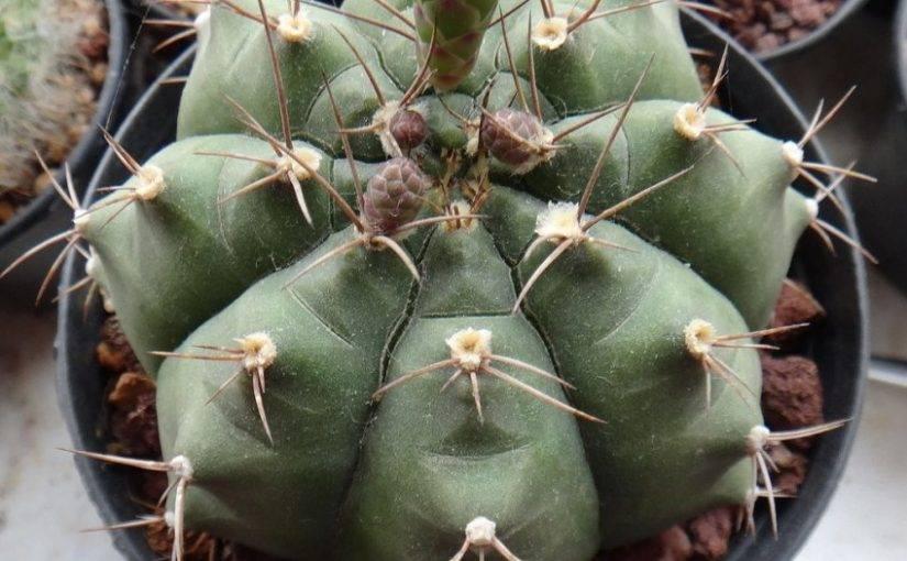 Гимнокалициум: необычный кактус родом из южной америки