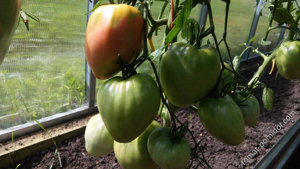 Оригинальный сорт с множеством достоинств — томат орлиный клюв: полное описание помидоров
