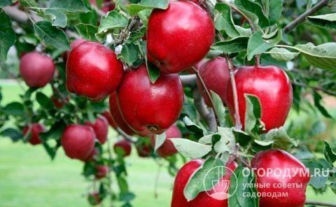 Ред делишес — описание сорта яблони и правила агротехники