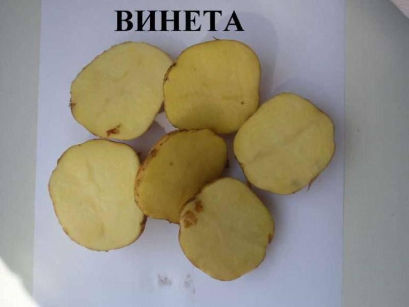 Сверхранний немецкий картофель «венета» описание сорта, характеристики, фото