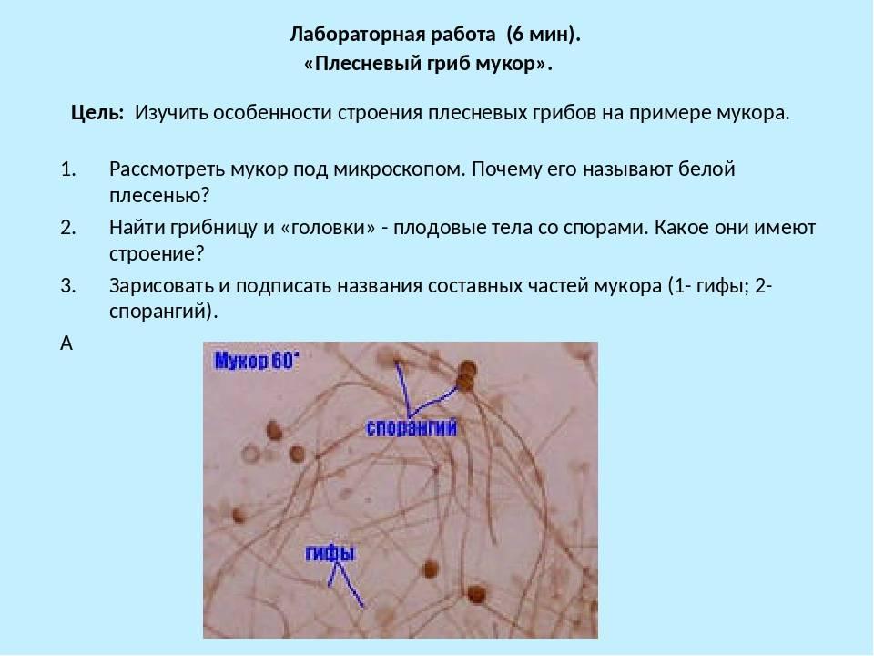 Плесневый гриб мукор: строение, как выглядит под микроскопом, +14 фото