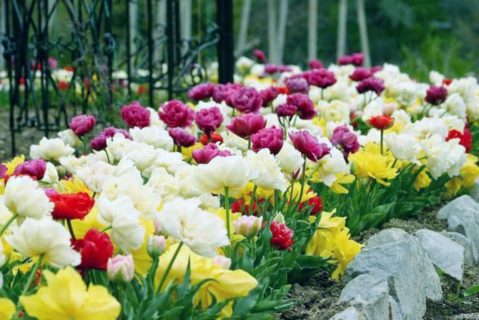 На какую глубину, когда и как сажать тюльпаны осенью