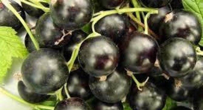 Черная смородина сорта «добрыня»: описание, фото, уход и болезни