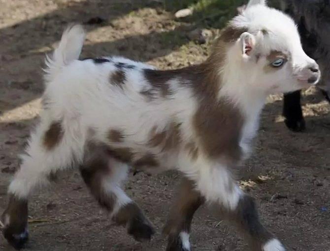 Камерунские козы отзывы владельцев