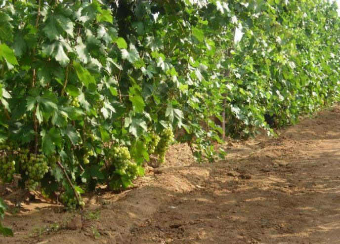 Виноград феномен: отзывы, описание сорта, агротехника, достоинства и недостатки