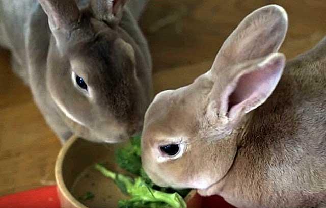 Чем кормить кроликов в домашних условиях: советы для начинающих, видео