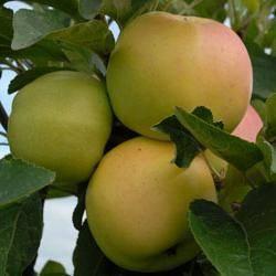 Яблоня васюган: особенности сорта и ухода