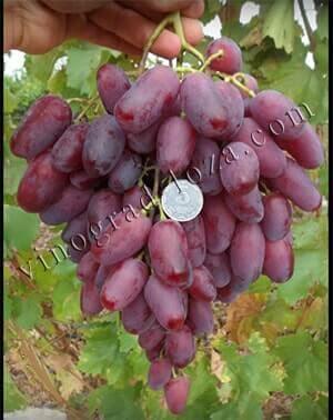 """Виноград """"ризамат"""": описание сорта, фото, отзывы"""