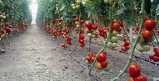 Особенности детерминантных и индетерминантных сортов помидор