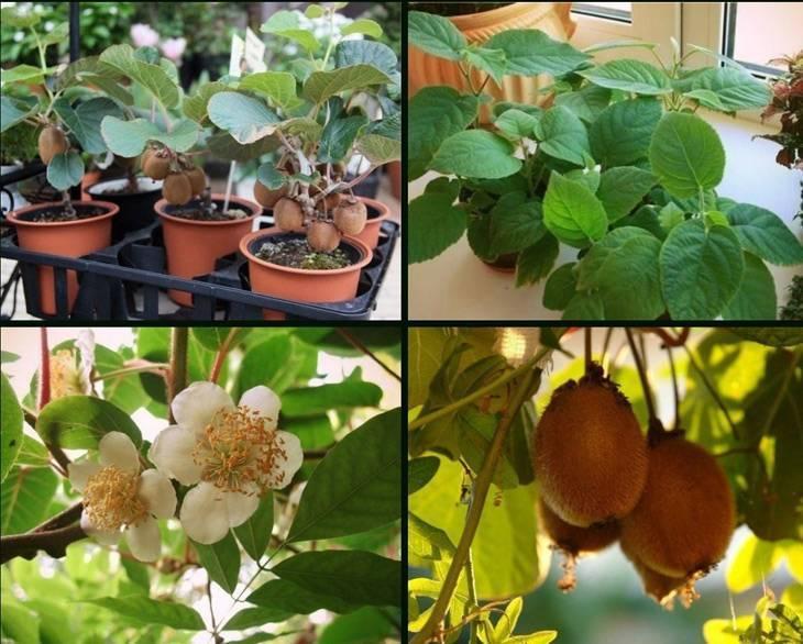 Киви: посадка, уход, размножение, особенности выращивания в наших широтах | огородники