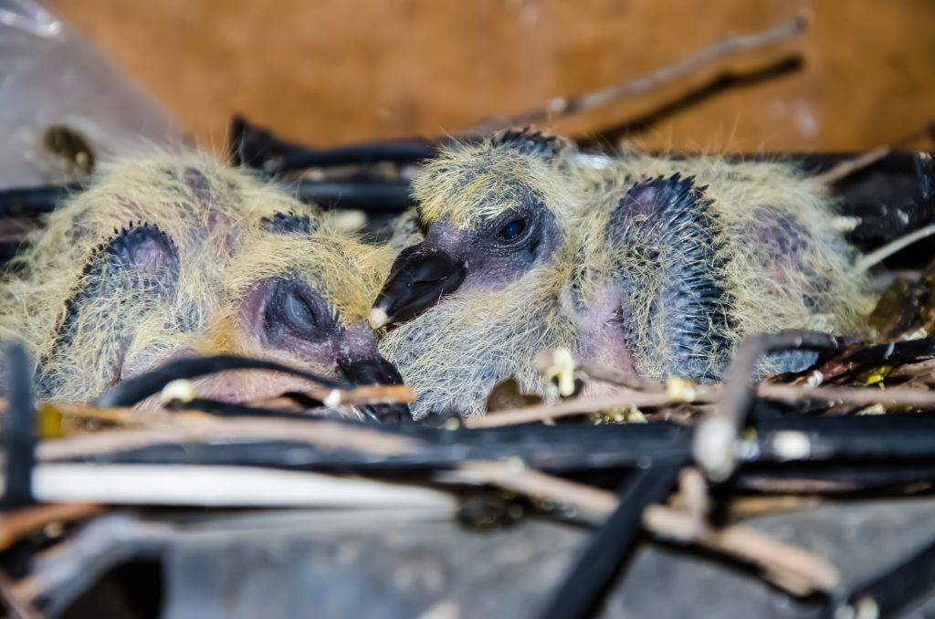 Читать книгу все о голубях. лечение, кормление, разведение, содержание татьяны плотниковой : онлайн чтение - страница 23
