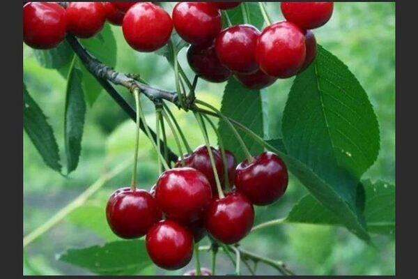 Описание сорта вишни: малышка