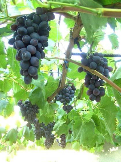 Лучшие сорта черного винограда: характеристики и описание