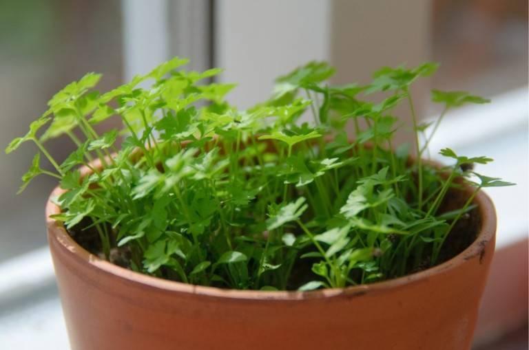 Укроп на подоконнике: выращивание из семян и уход