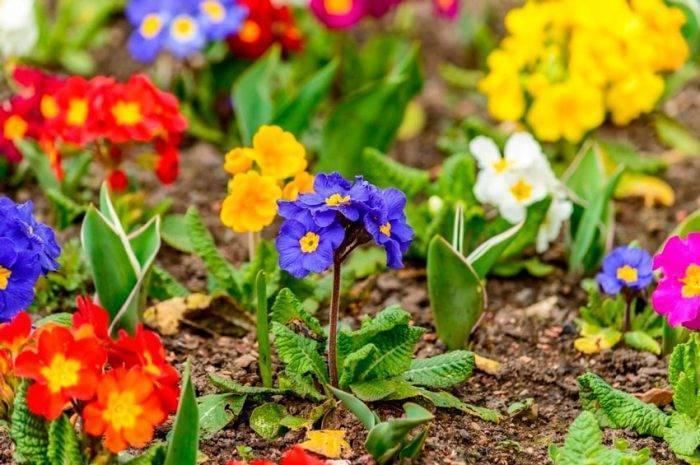 Как вырастить примулы из семян? посадка примулы семенами в домашних условиях. фото — ботаничка.ru