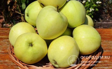 Яблоневый сорт папировка - особенности и нюансы разновидности